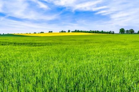 Grass field, green barley fields and sky, spring landscape