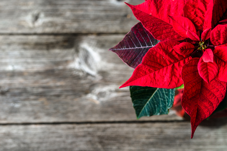 Holiday decoration. Christmas background with red poinsettia on wooden board. Standard-Bild