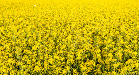 Yellow background of rapeseed flowers on field 스톡 콘텐츠