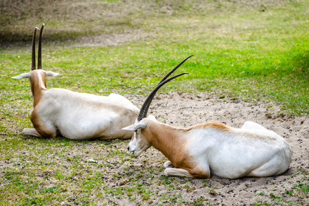 Horned antelope. African scimitar oryx on grass in zoo, animals in captivity.