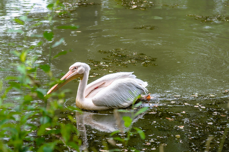Great white pelican fishing on the water. Bird swimming on pond in zoo.
