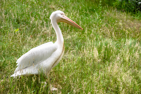 Great white pelican on meadow. Pelicans family, bird in natural environment.