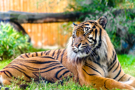 Bengal tiger in zoo. Animals in captivity.