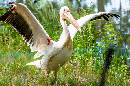 Great white pelican in nature. Rosy pelicans family. Wild bird with spread wings. Animal in zoo. Фото со стока
