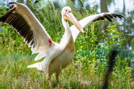 Großer weißer Pelikan in der Natur. Rosige Pelikane Familie. Wilder Vogel mit ausgebreiteten Flügeln. Tier im Zoo.