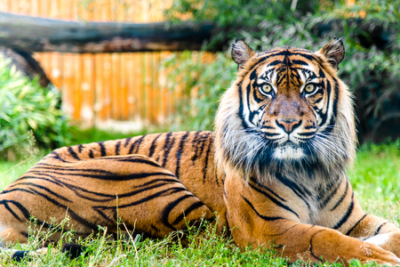 Portrait of tiger looking at the camera. Front view of panthera tigris in. Animals in zoo.