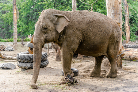 Indian elephant in zoo, animal in captivity