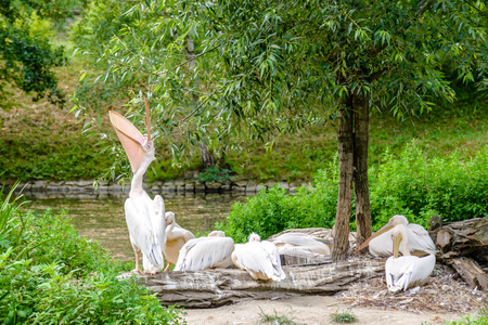 Great white pelican, flock of birds on shore of the river. Pelicans in zoo. Stock Photo