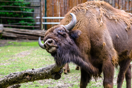 Auroch, animal in zoo. Aurochs lives in european nature reserves. Those animals are under protection.