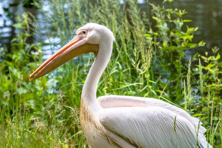 Rosy pelican, great white bird over river shore. Pelicans family.
