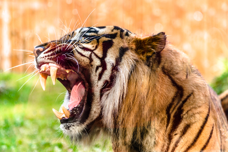 Angry tiger roaring and showing fangs in open mouth