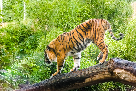 Animals in nature. Tiger in jungle. Hunting panthera tigris in natural environment.