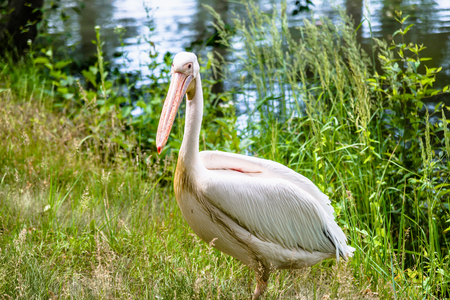 Great white pelican in nature. Pelicans family, big bird in natural environment. Stock Photo