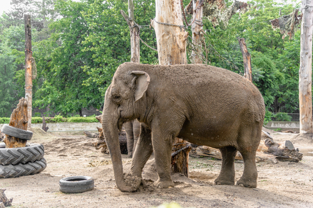 Elefante indio en zoológico, animal en cautiverio