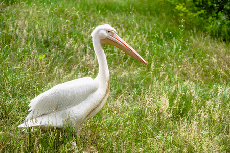 Great white pelican on grass. Pelicans family. Wild bird in zoo.