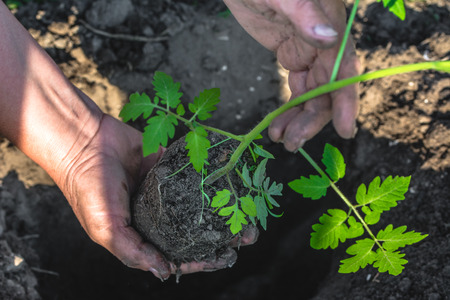 Green tomato seedling in hands of farmer, planting in the garden, bio farming concept. Banque d'images - 105586829
