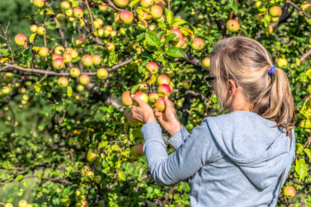 Young woman picking apples from apple tree in orchard. Autumn harvesting season.