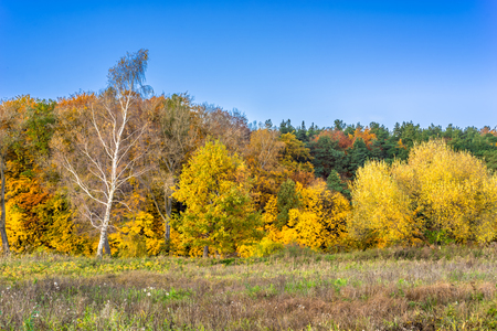 Sunny autumn landscape, yellow forest and blue sky in sunny day