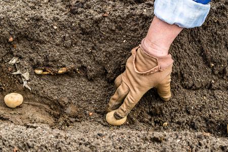 Farmers hand planting potato tuber into the ground in bio garden, organic potatoes seeds 写真素材