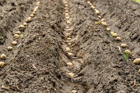 Farm of potatoes, planting seeds of potato on field, organic farming concept Stock Photo