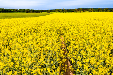 Landscape of farm fields with rapeseed, yellow flowers, summer scenery