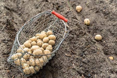 Planting potato on farm. Basket with seeds of potatoes on field, organic farming concept. Stock Photo