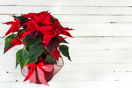 Red poinsettia. Christmas traditional flower on white wooden table. 스톡 콘텐츠