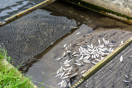 Dead fish in farm, ecological disaster in trout farming
