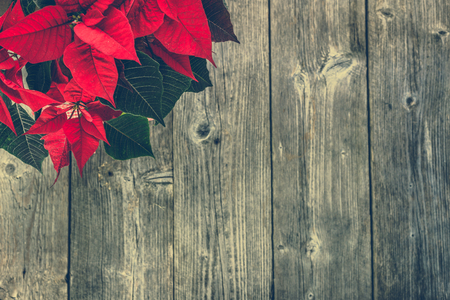Red poinsettia, christmas flower, table decoration on wooden rustic background 版權商用圖片