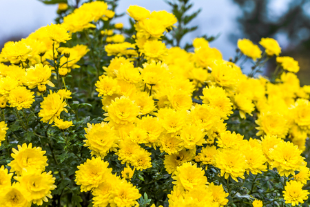 Background with autumn flowers, bouquet of yellow chrysanthemum 스톡 콘텐츠