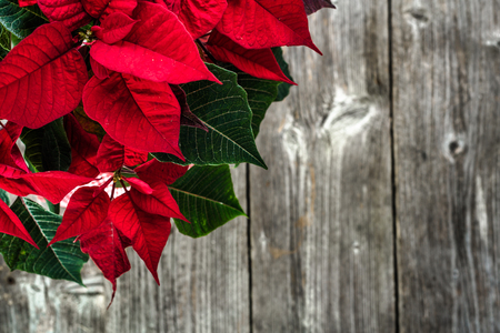 Christmas table decoration with christmas flower, red poinsettia, top view 版權商用圖片