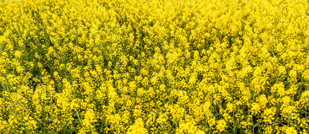 Rapeseed field, yellow flowers background
