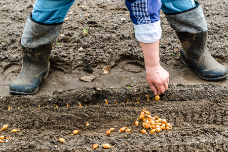 Farmer planting seeds of onion on field or in the vegetable garden, organic farming concept Stock Photo