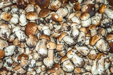 Fresh boletus mushroom. Collection of small selected mushrooms. Stock Photo