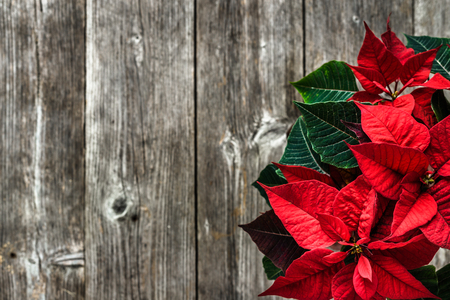 Christmas rustic background with red poinsettia flower on wooden board 版權商用圖片