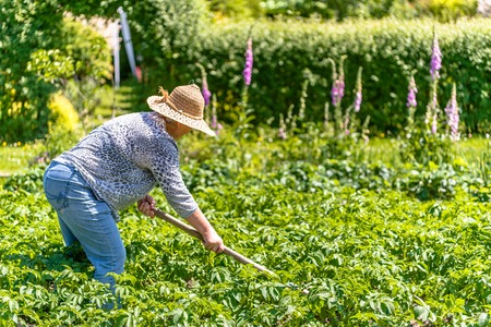 Woman farmer working on field of potatoes, organic farming and summer gardening concept