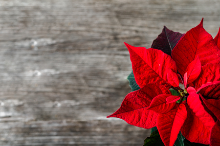Red poinsettia, christmas flower, table decoration on wooden rustic background 스톡 콘텐츠