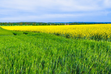 Spring green field with growing wheat, farm land landscape