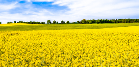 Rapeseed field, panorama of flowers on fields, farm land landscape in spring scenery Фото со стока