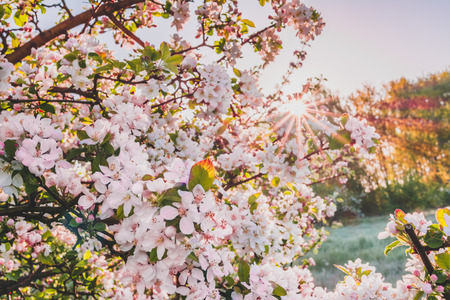 Spring blossoming tree branch, pink flowers of cherry, toned photo Standard-Bild - 111875959