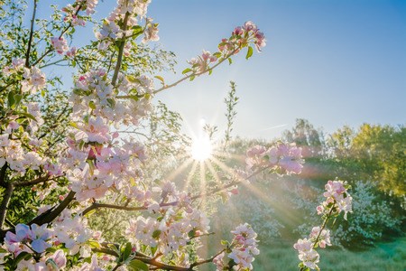 Pink sakura flowers in beatiful morning, spring blossoming cherry tree branch and sun shine through trees.