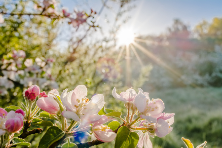Apple blossom, spring flower in the sun Reklamní fotografie