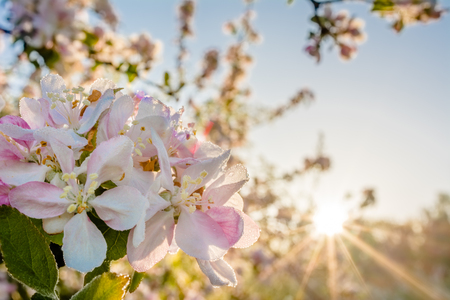 Apple blossom, spring flower in sunlight