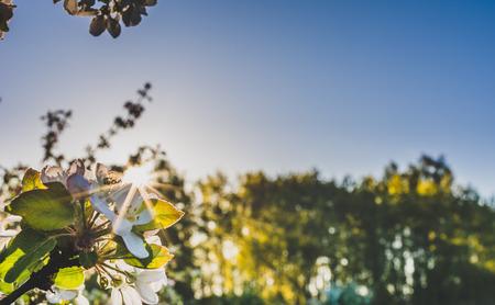 Cherry blossom, spring flower in the sun in the morning, springtime landscape