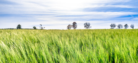 Green wheat field, panorama with trees at horizon, countryside landscape Stock Photo - 113196107