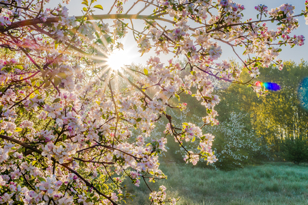 Japan garden with spring cherry blossoms, branch with sun shining through flowers Stock Photo
