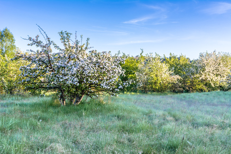 Apple tree in spring landscape, blooming trees on field with grass 版權商用圖片 - 113196114