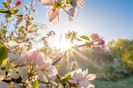 La primavera sboccia al sole. Ramo di un albero con fiori di mela, sfocatura dello sfondo.