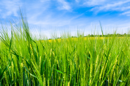 Green field, spring landscape with wheat on fields and blue sky Imagens