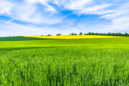 Green field, spring landscape with wheat on fields and trees on the sky horizon